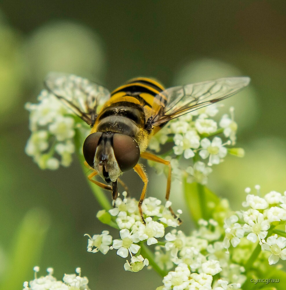 Hover Fly by cymcgraw