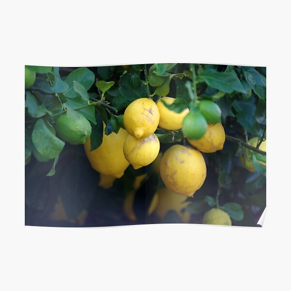 What a lovely bunch of lemons Poster