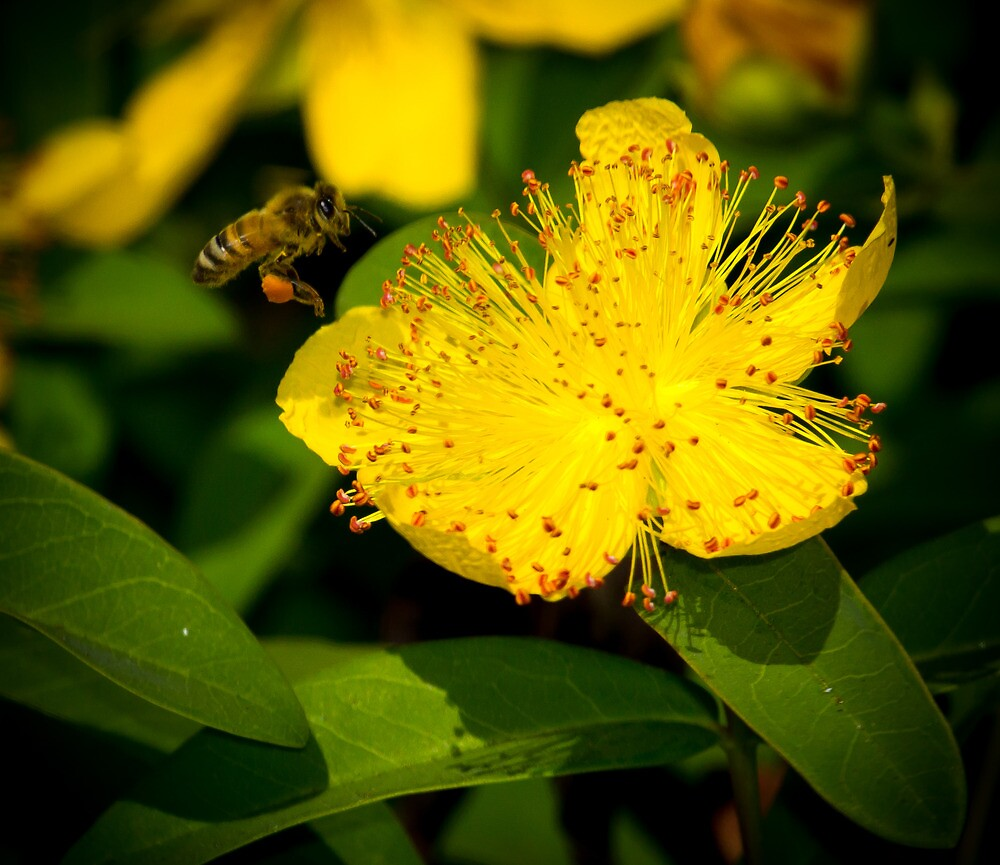 Bee pollinating Flowers by RandyHume