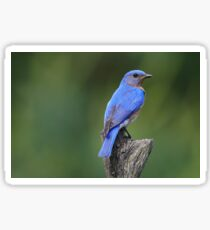 Eastern Bluebird Sticker