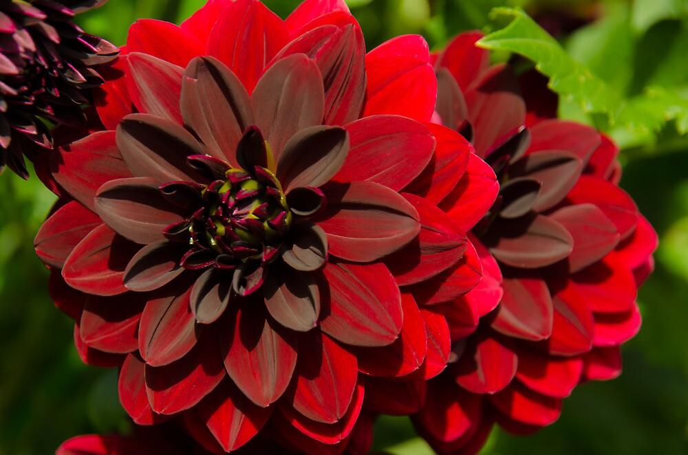 Dahlia flower by Anastasia Filippova