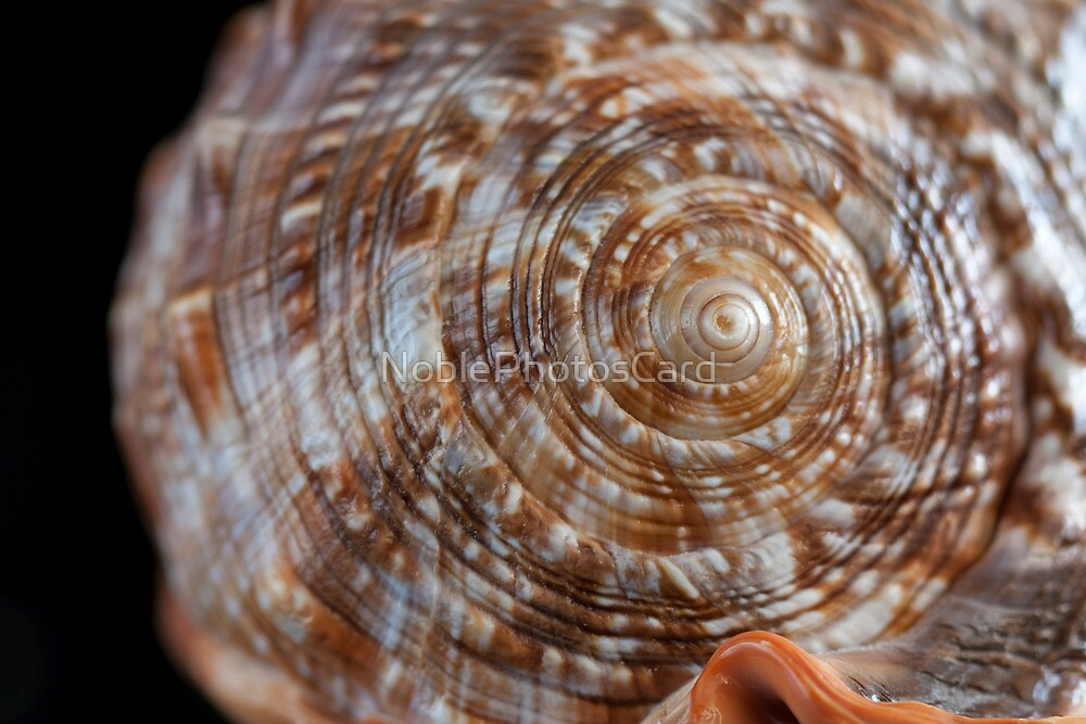 Macro Photograph of Seashell Spiral by NoblePhotosCard