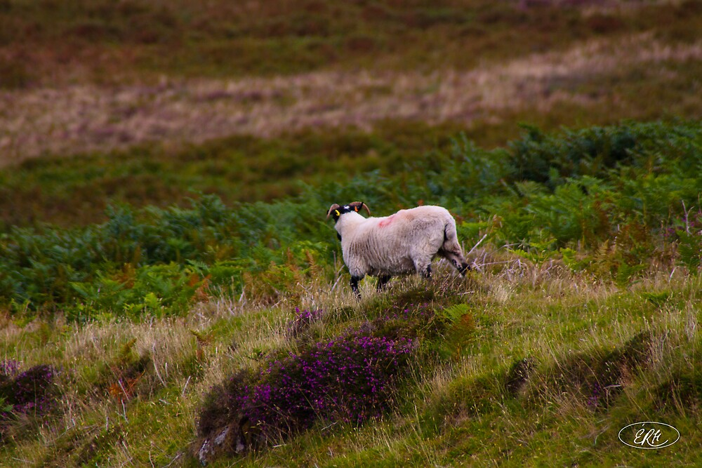 Sheep in Dartmoor by elisehendrick