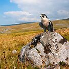 Peregrine Falcon by Stephen Miller