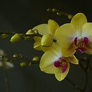 Yellow Orchid by Gilberte