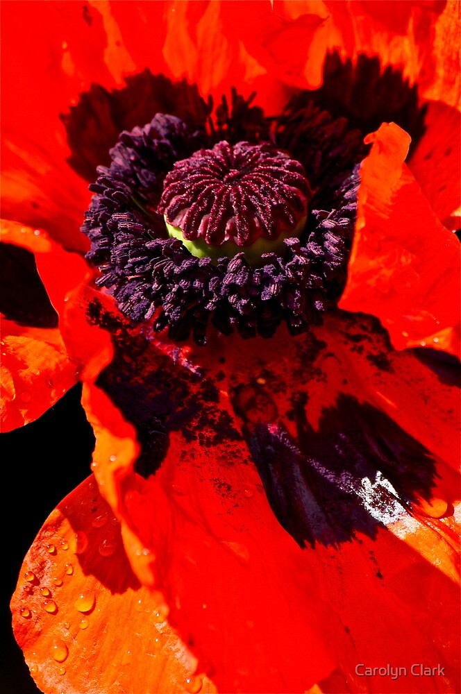 Poppy 2 by Carolyn Clark