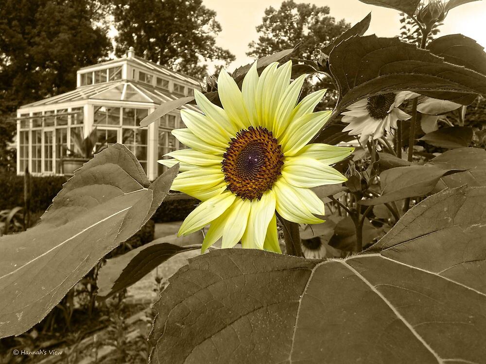 Sunflower Splash  by hannahsview