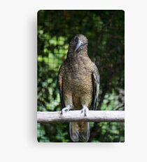 Curious Kia Canvas Print