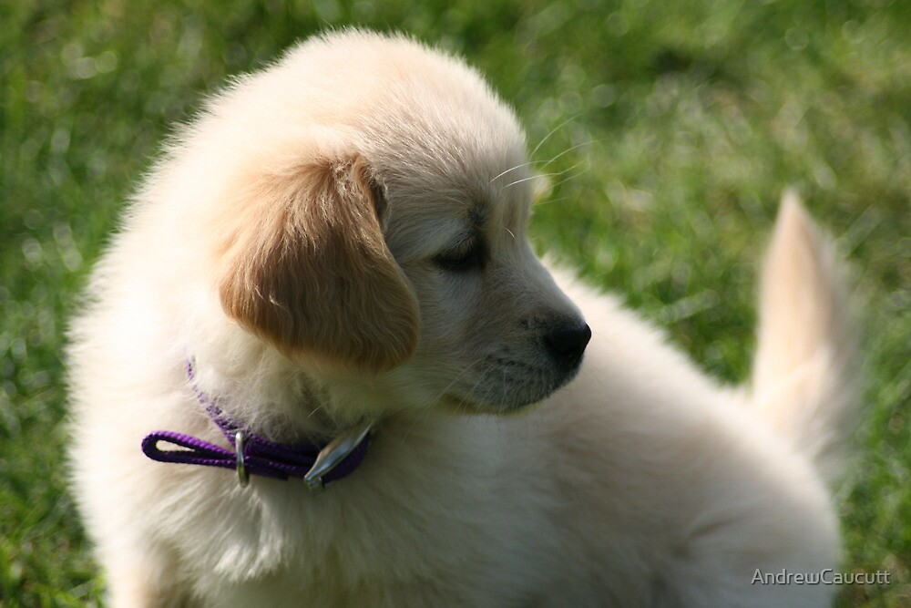 Young Pup by AndrewCaucutt
