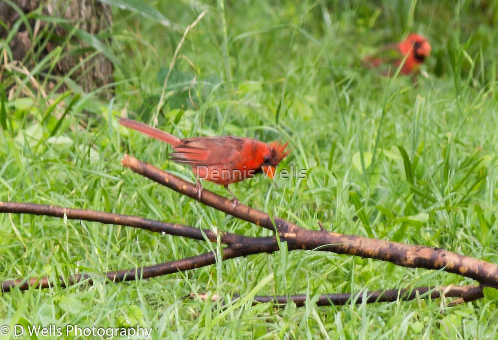 Male Cardinal on a branch by Dennis Wells