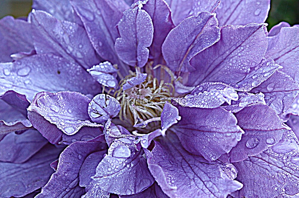 Clematis by Charles  Staig