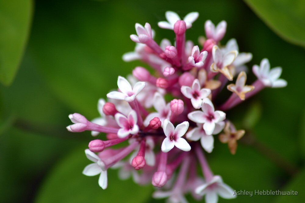 Pink and white flower by Ashley Hebblethwaite