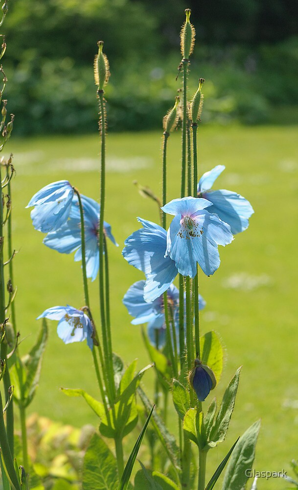 Meconopsis by Glaspark