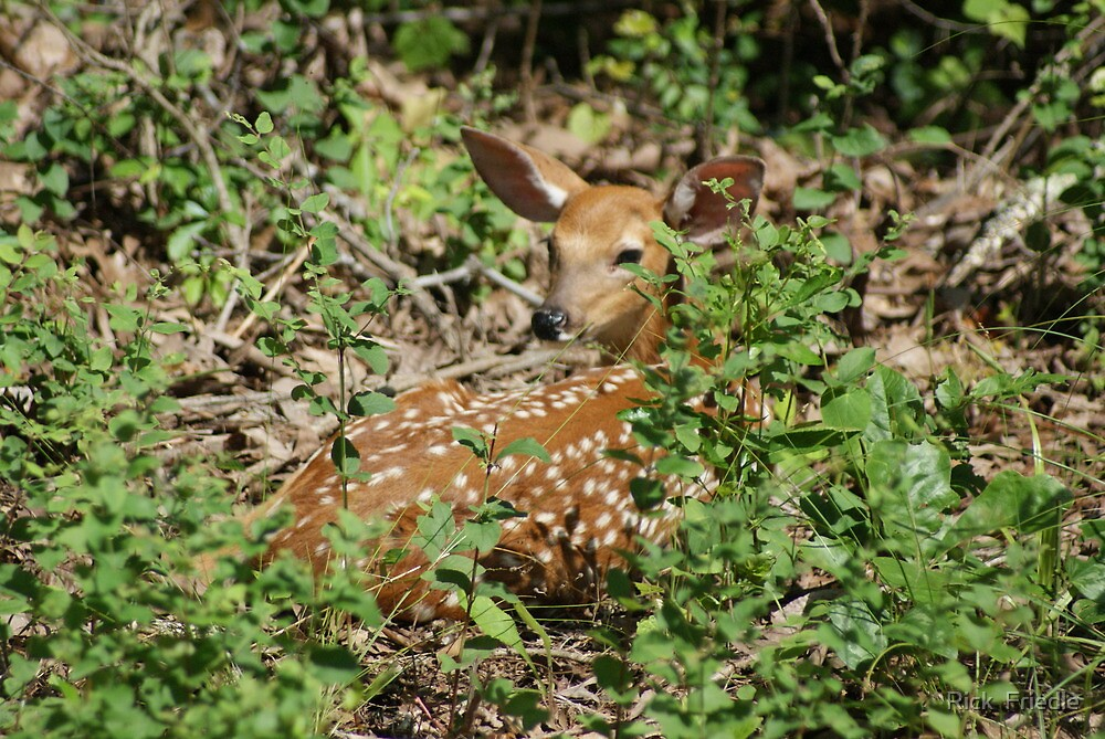 Fawn Sunning by Rick  Friedle