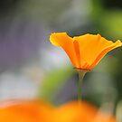Orange Poppy by Tracy Friesen