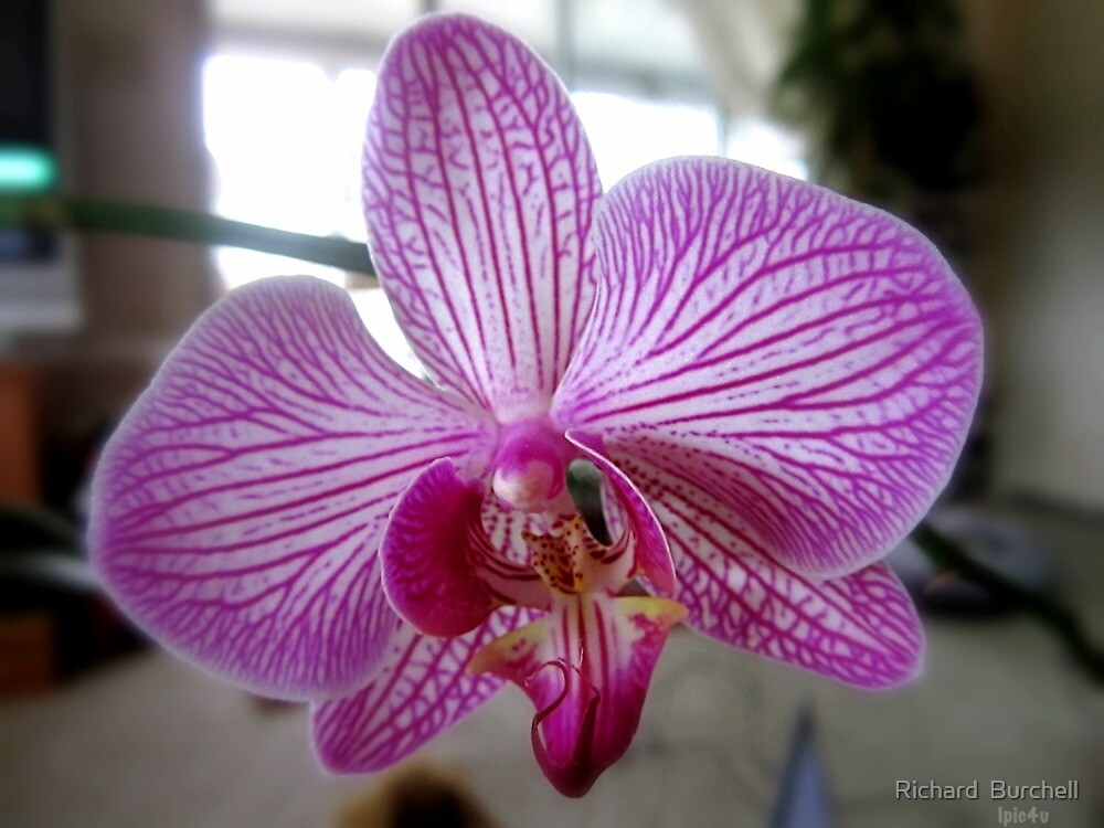 Arlene's Orchid  by Richard  Burchell