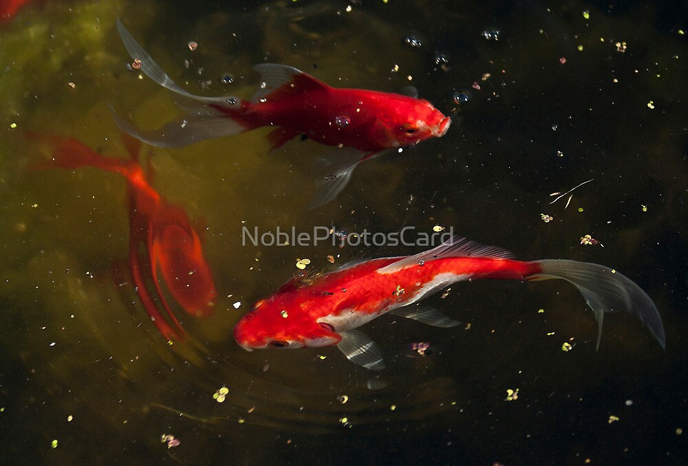 Three Goldfish Swimming in a Circle by NoblePhotosCard