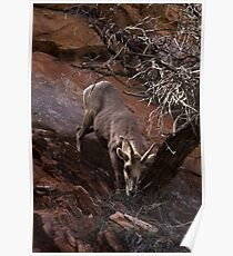 Bighorn Sheep Nibbling Brush in Zion Park Poster