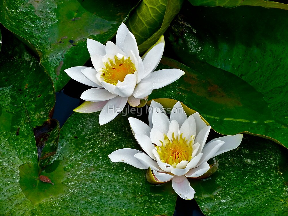 Water Lily (3) by Hayley Musson