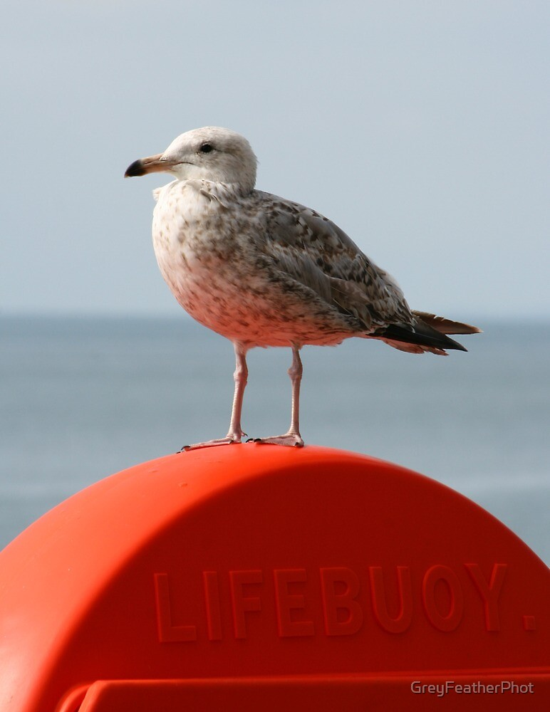 Herring Gull Juvenille by GreyFeatherPhot