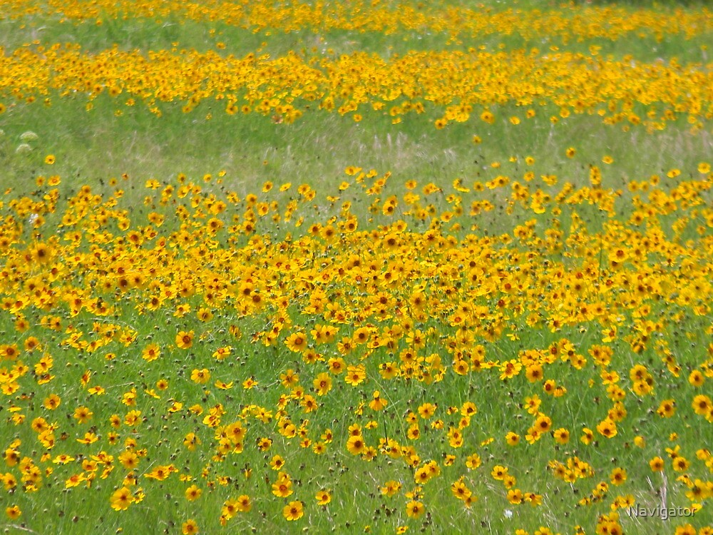 Coreopsis in the Fields by Navigator