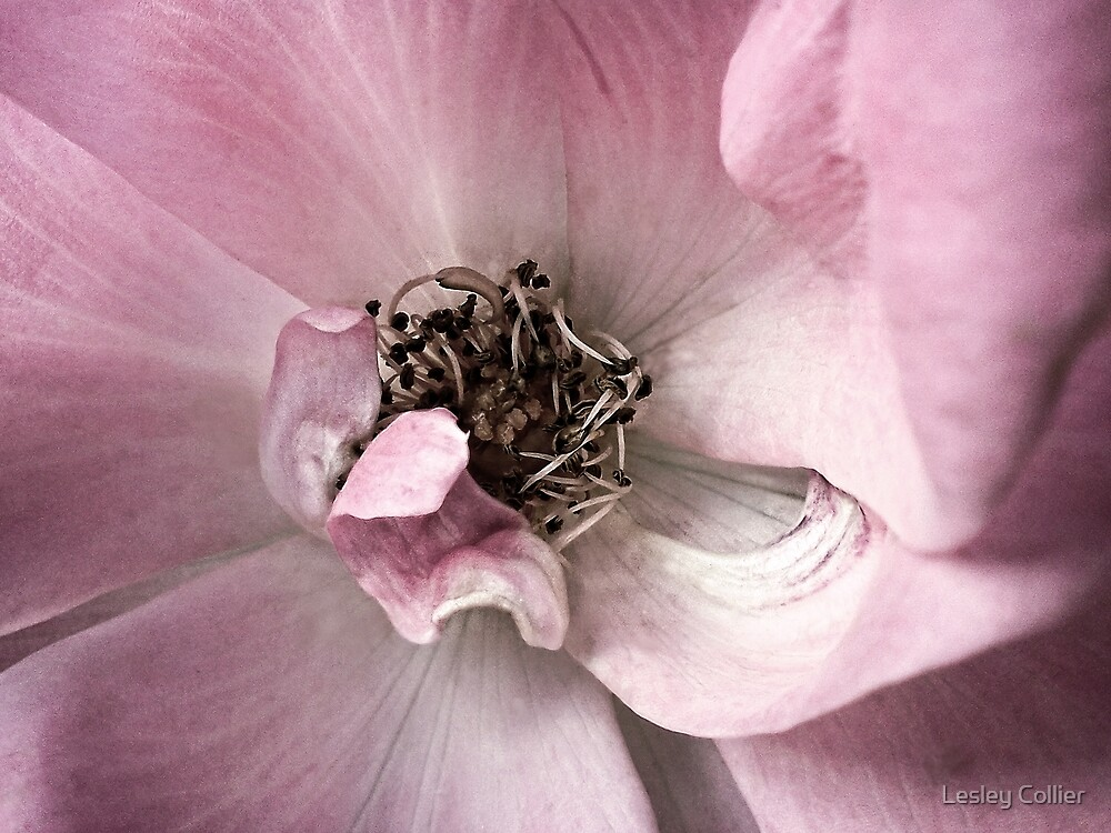 Pink Flower - Omaha Beach by Lesley Collier