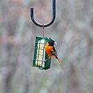 Male Oriole by Penny Fawver