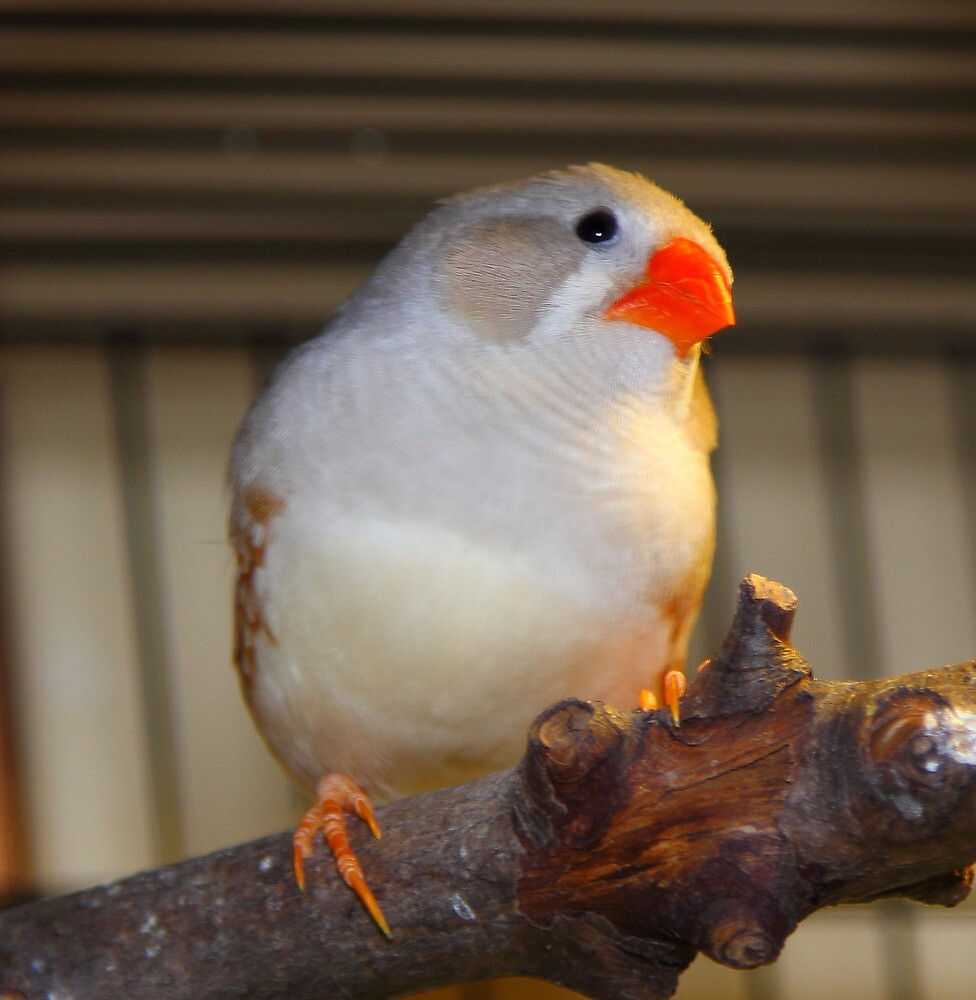 White finch by RandyHume