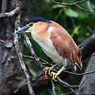 Nankeen Night  Heron   -  Lake Eacham - Atherton TL  - FNQ by john  Lenagan