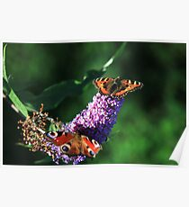 The butterfly bush Poster