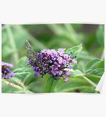 Butterfly-Bush (Buddleja davidii) Poster