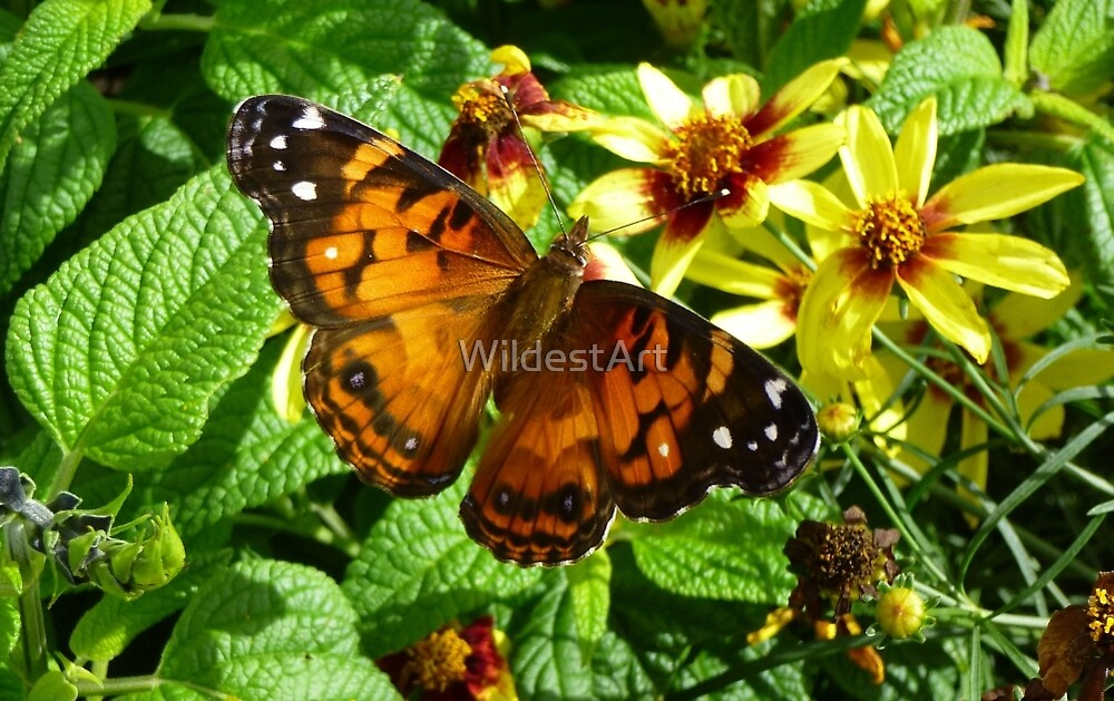 American Painted Lady  by WildestArt