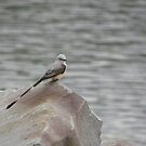 Scissor Tailed Flycatcher by Jackie Popp