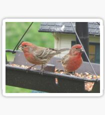 House finches Sticker