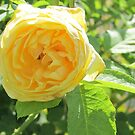 Yellow Rose with a bug by Jackie Popp