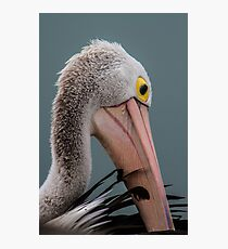 Australian pelican portrait Photographic Print