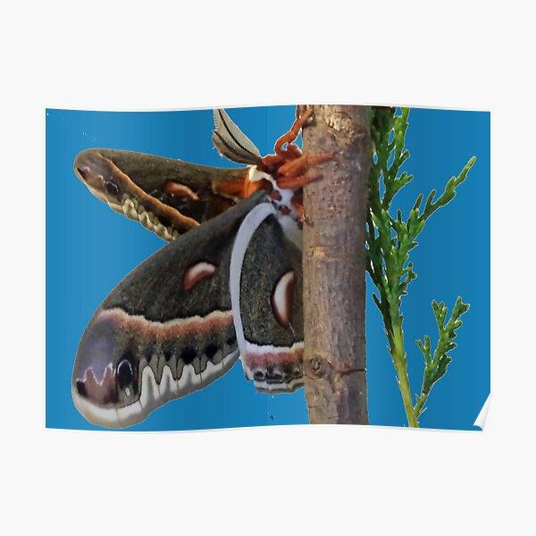 """""""Cecropia Moth #3"""" Poster"""