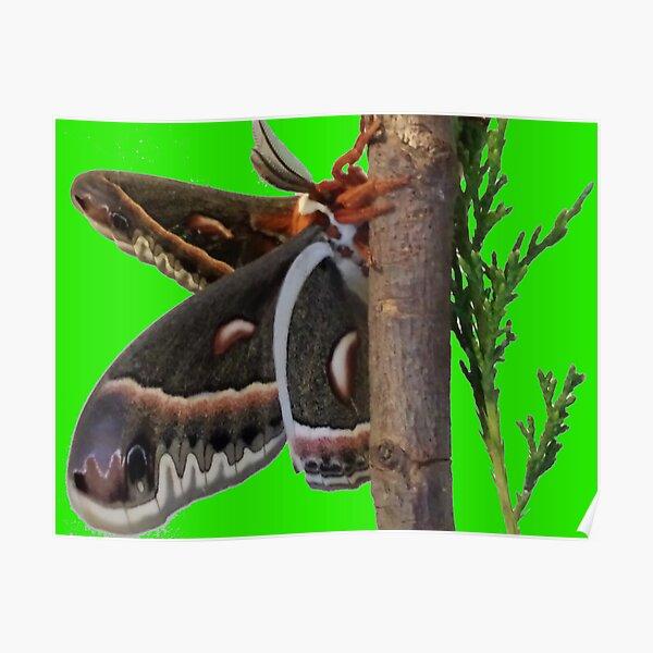 """""""Cecropia Moth #4"""" Poster"""