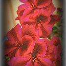 Martha Washington Geranium by kkphoto1