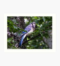 Blue Jay in a tree peeking from behind a leaf Art Print