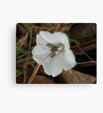Beefly in Creeping Wildflower Canvas Print