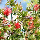 Sparrows in the bottle brush bush by missmoneypenny