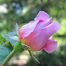 Rosebud Sir Walter Raleigh by Pat Yager