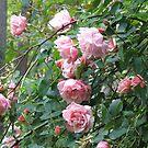 Albertine Climbing Rose by Pat Yager