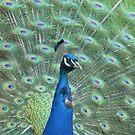 Peacock by IslandImages