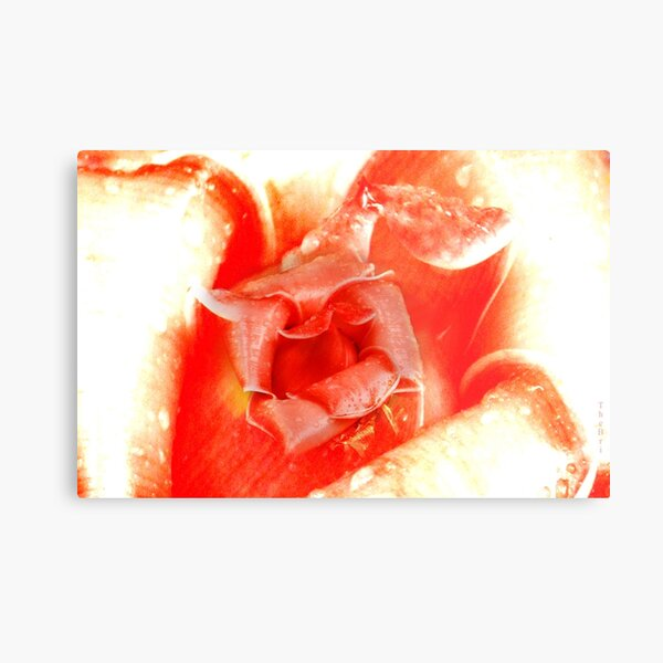 ...   For You Are The Wildest Rose Of The Highest Magnitude   ... Metal Print