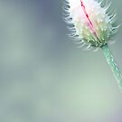 Poppy Bud by Alana Stewart Photography