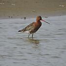 Black Tailed Godwit by CreativeEm