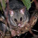 Pesky Possum.........! by Roy  Massicks