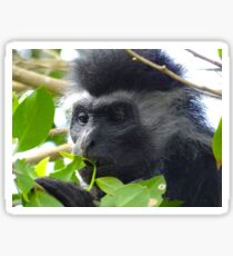 Colobus Monkey eating leaves in a tree close up Sticker